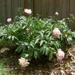 peony-bush-may-2008